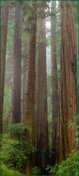 Morning mists shrowd this grove of mature Redwoods