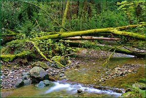 Muir Woods streams host rainbow trout, silver salmon, crayfish and steelhead